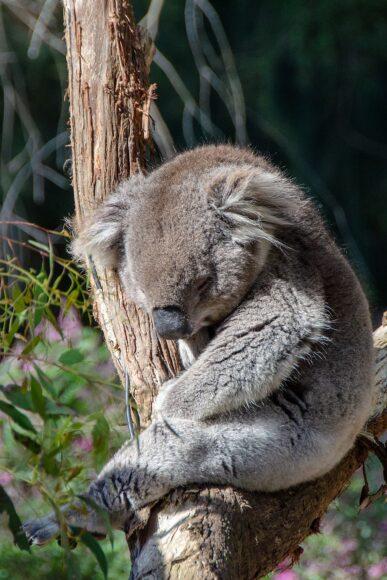 hình ảnh buồn ngủ của gấu túi