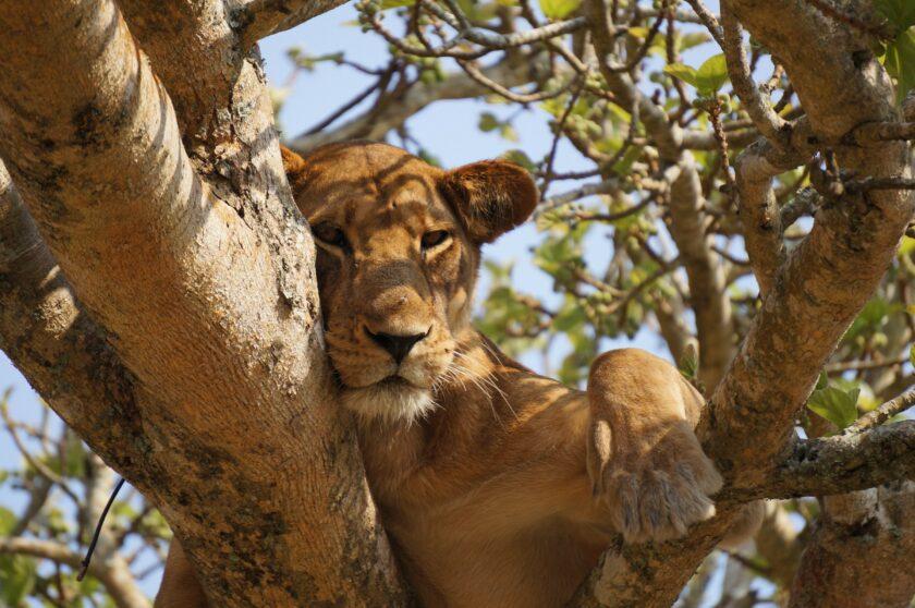 hình ảnh buồn ngủ của sư tử cái
