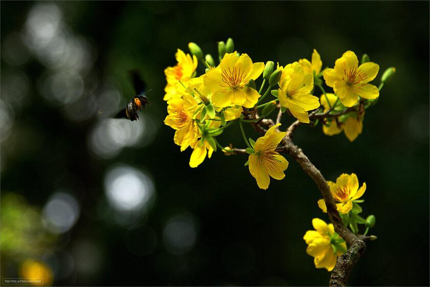 hình ảnh cành hoa mai và ong mật