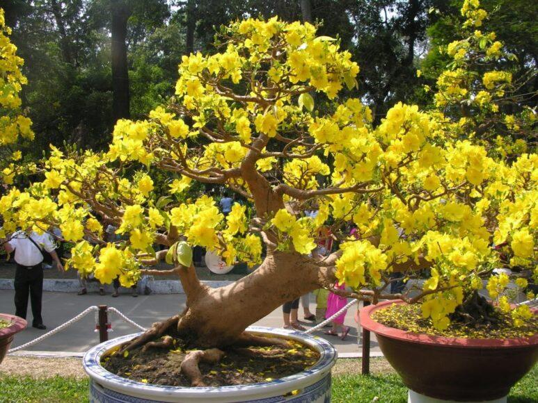 Hình ảnh cây mai vàng
