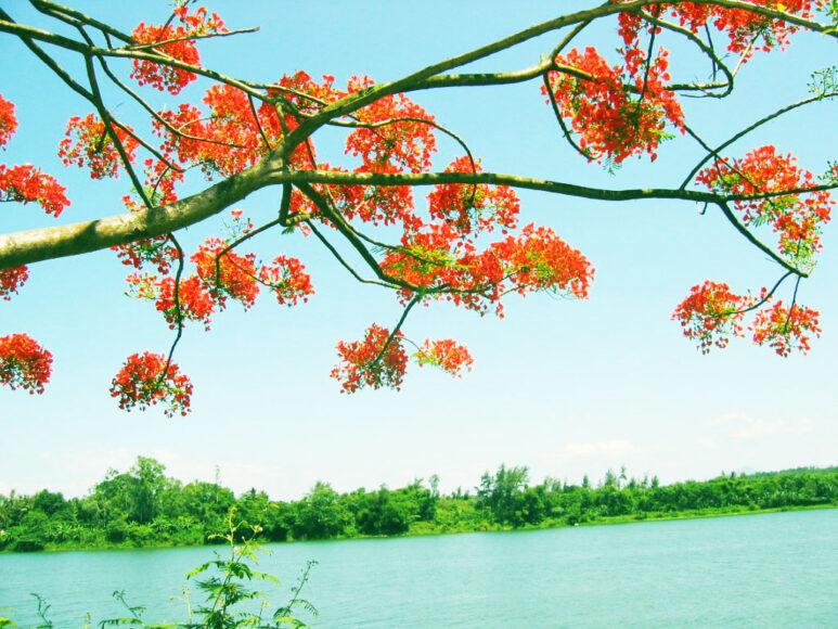 Hình ảnh cây phượng bên dòng sông