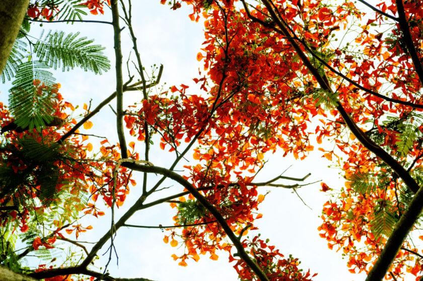 Hình ảnh cây phượng vào mùa hè