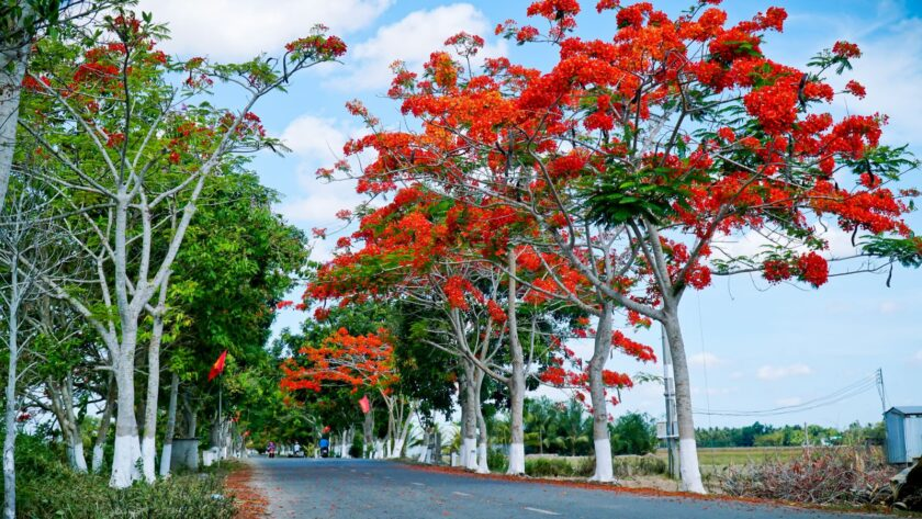 Hình ảnh cây phượng vĩ mùa hè