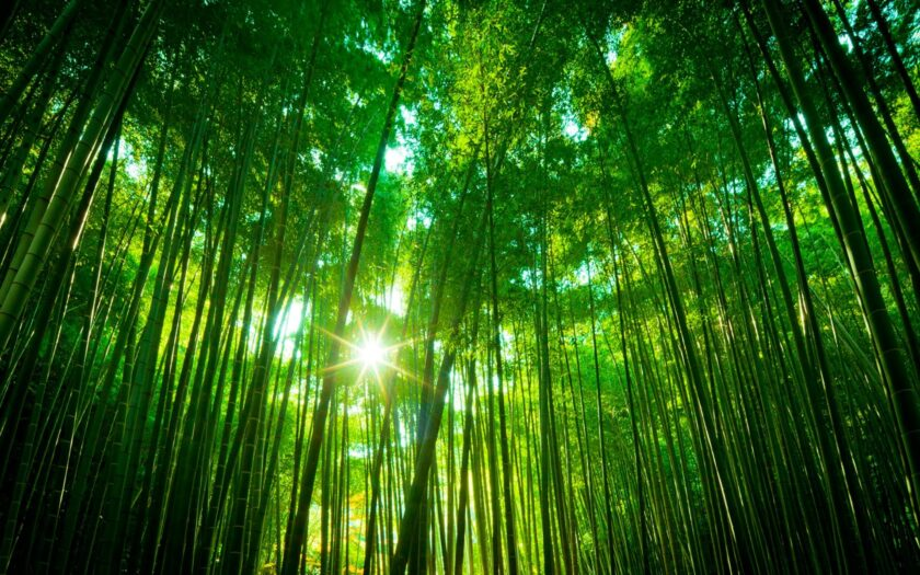 Hình ảnh cây tre dưới ánh mặt trời