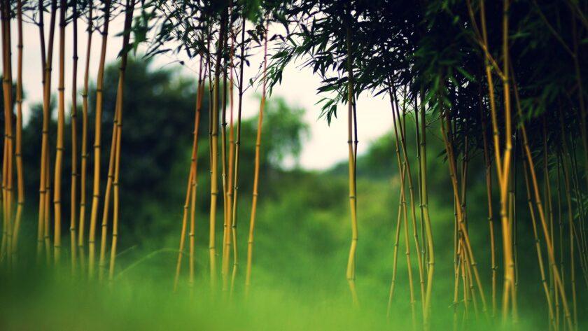 Hình ảnh cây tre nứa đẹp