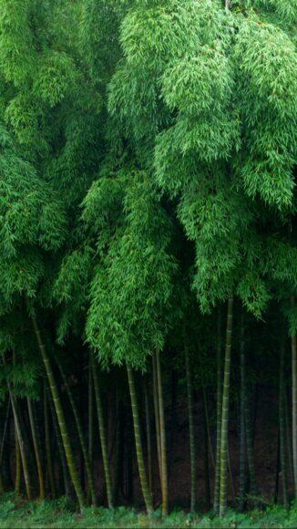 Hình ảnh cây tre và lá đẹp