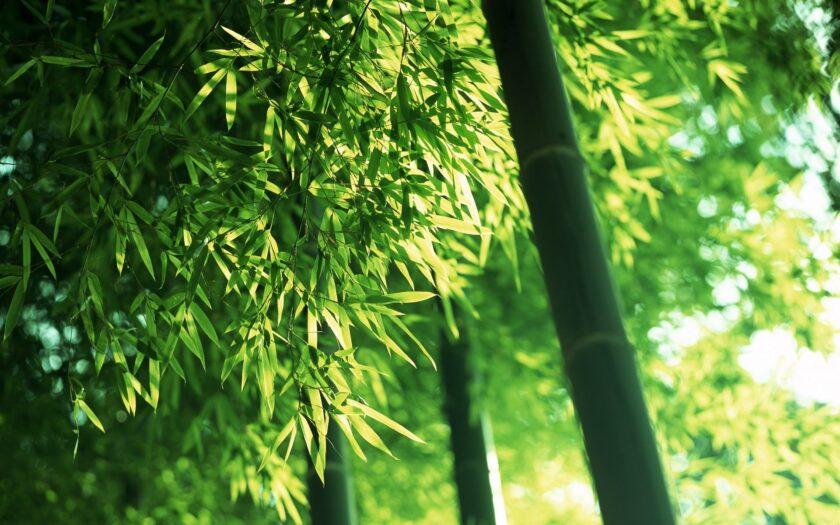 Hình ảnh cây tre xanh đẹp