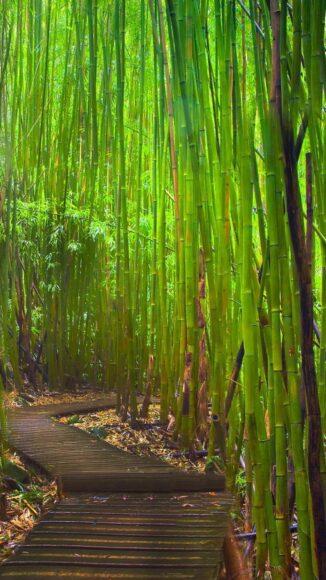 Hình ảnh cây tre xanh và lối đi