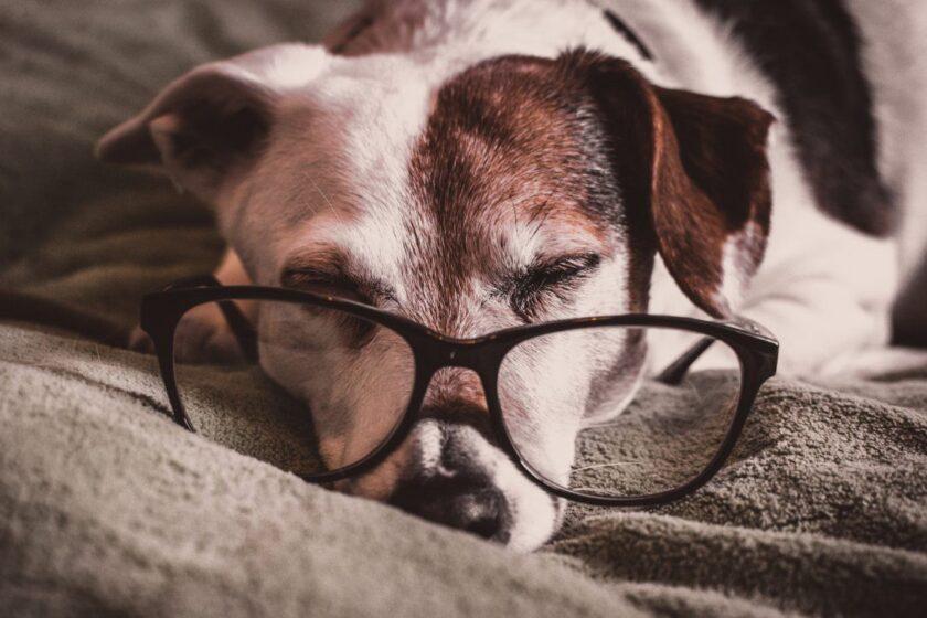 hình ảnh chú chó buồn ngủ đeo kính