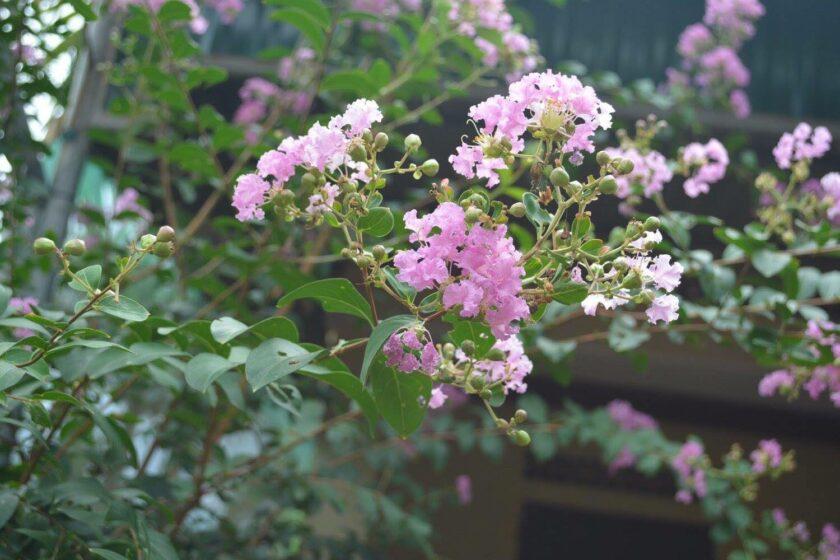 Hình ảnh chùm hoa tường vi