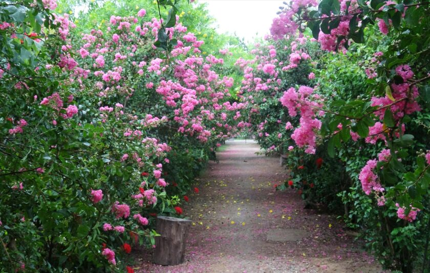 Hình ảnh con đường hoa tường vi
