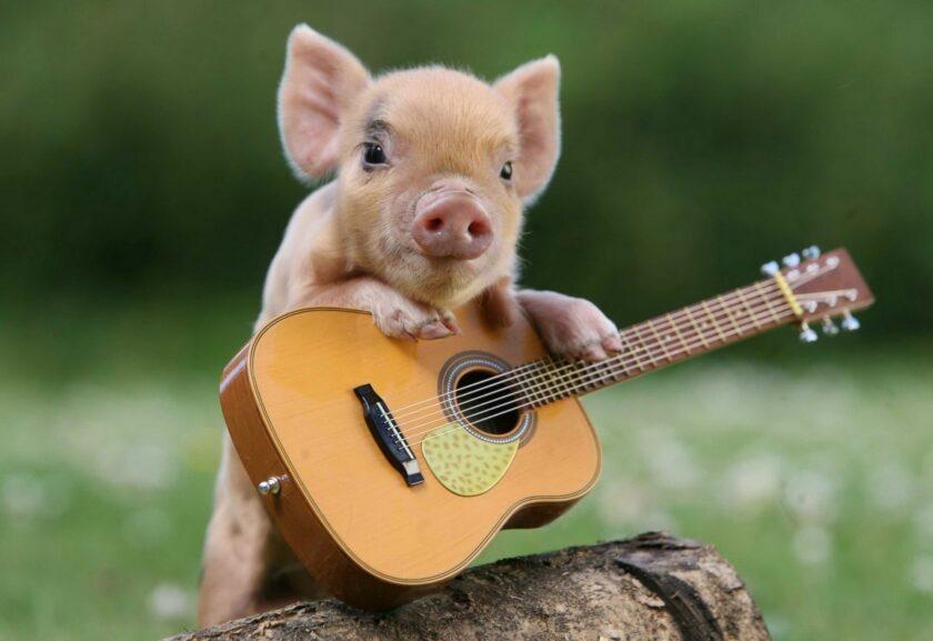 Hình ảnh con lợn và đàn ghita