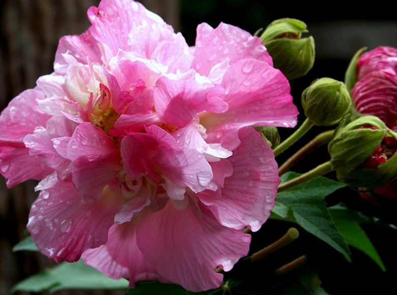 Hình ảnh đẹp của hoa phù dung