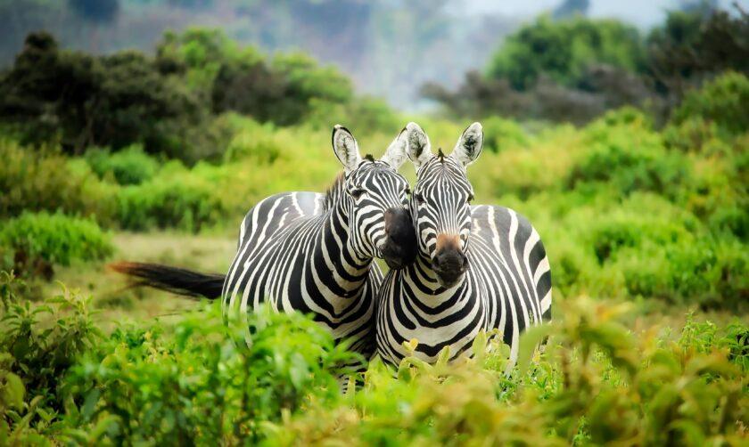 hình ảnh động vật dễ thương 2 con ngựa vằn đang âu yếm nhau