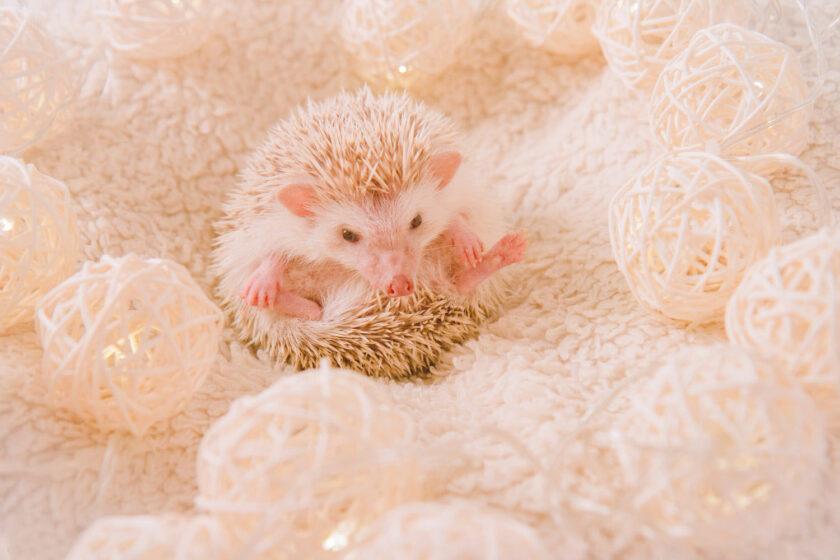 hình ảnh động vật dễ thương chú nhím hồng