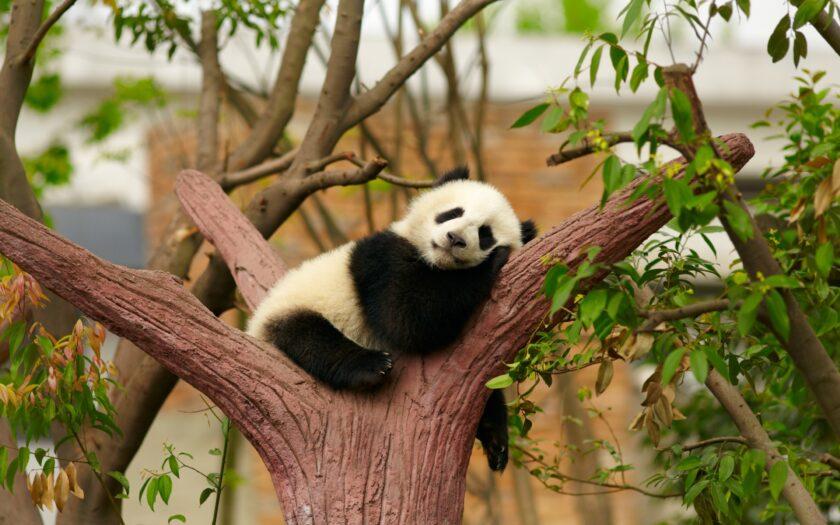hình ảnh động vật dễ thương con gấu trúc