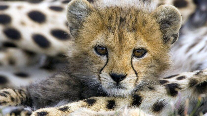 hình ảnh động vật dễ thương con hổ nhỏ