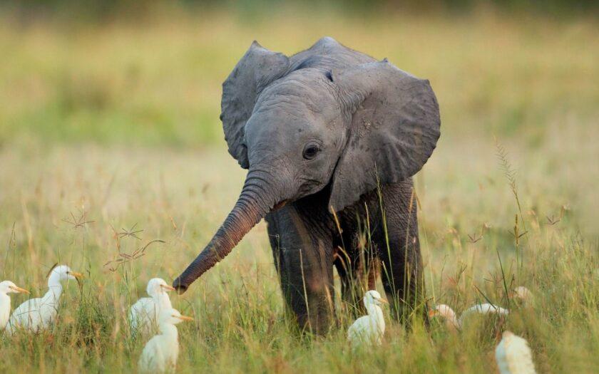 hình ảnh động vật dễ thương con voi