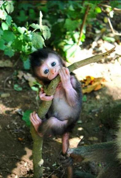 hình ảnh động vật dễ thương về chú khỉ con