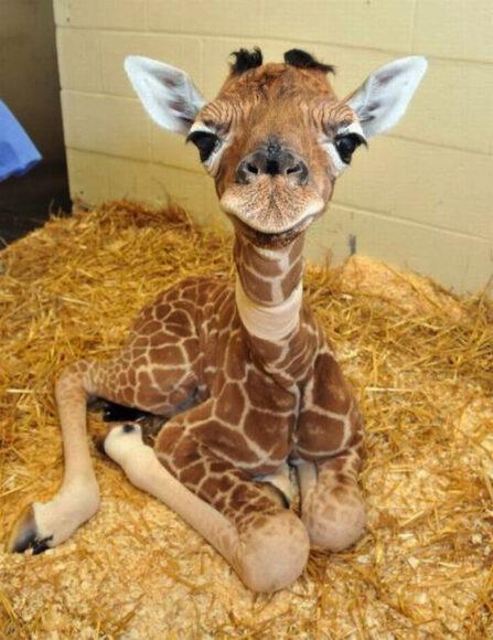 hình ảnh động vật dễ thương về hươu cao cổ