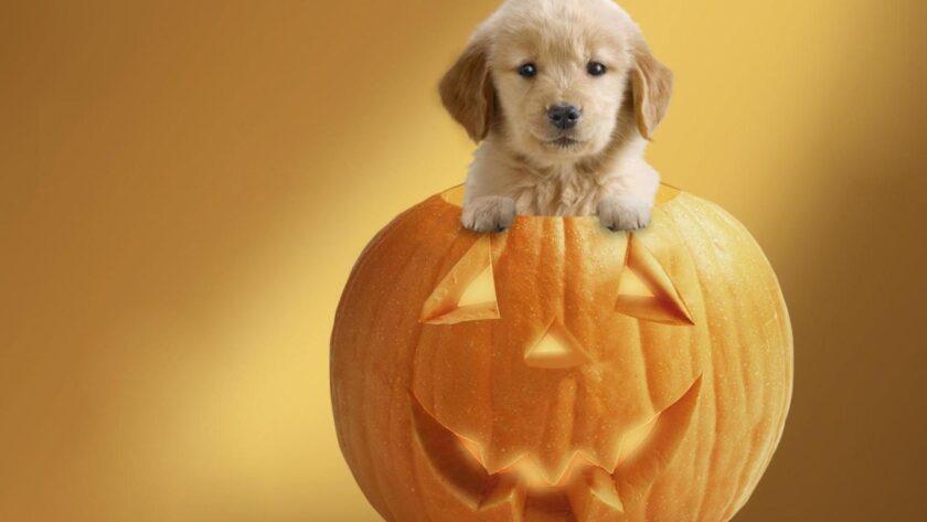 hình ảnh halloween dễ thương về chú chó và quả bí ngô