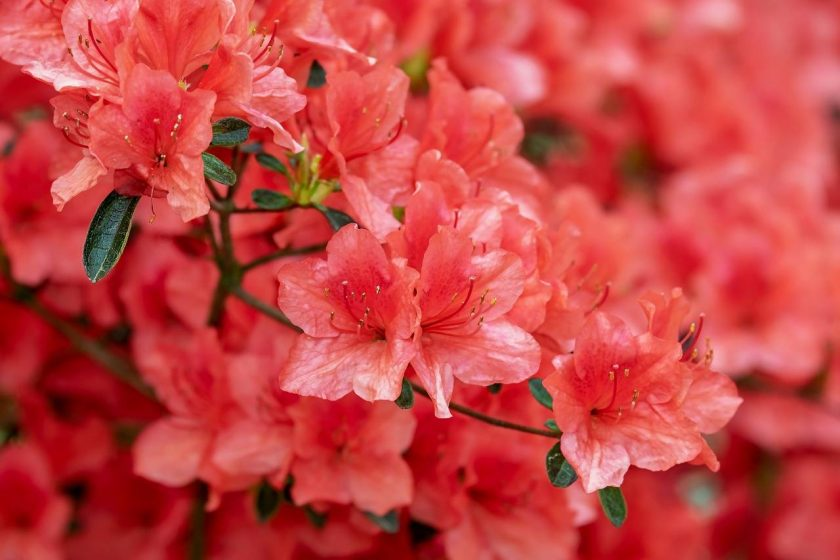 Hình ảnh hoa đỗ quyên đỏ