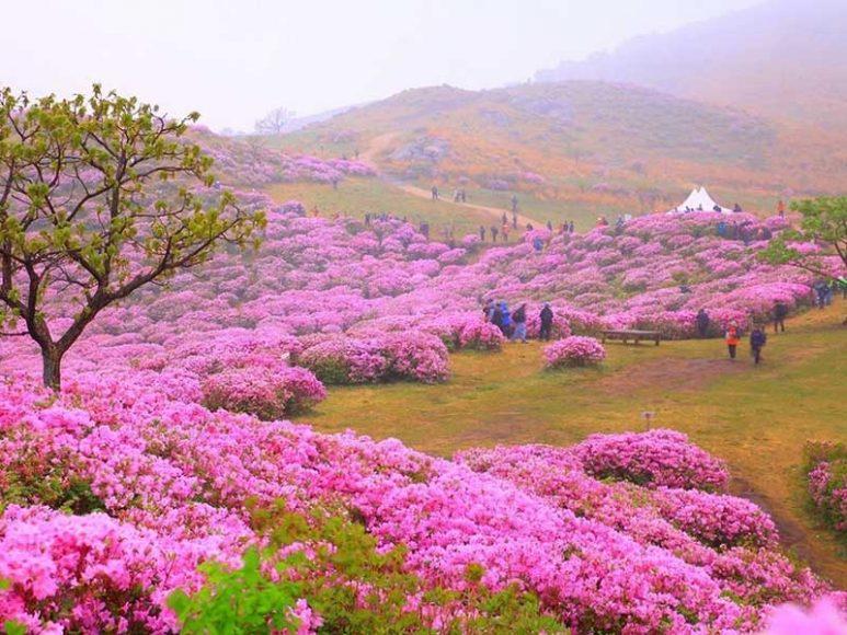 Hình ảnh hoa đỗ quyên rợp trời