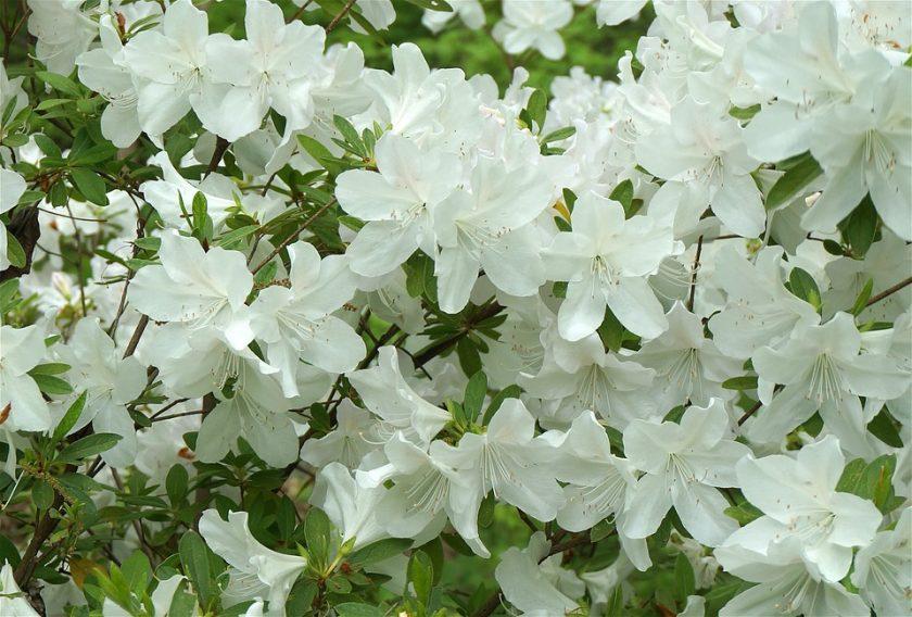 Hình ảnh hoa đỗ quyên trắng