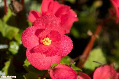 hình ảnh hoa hải đường tuyệt đẹp