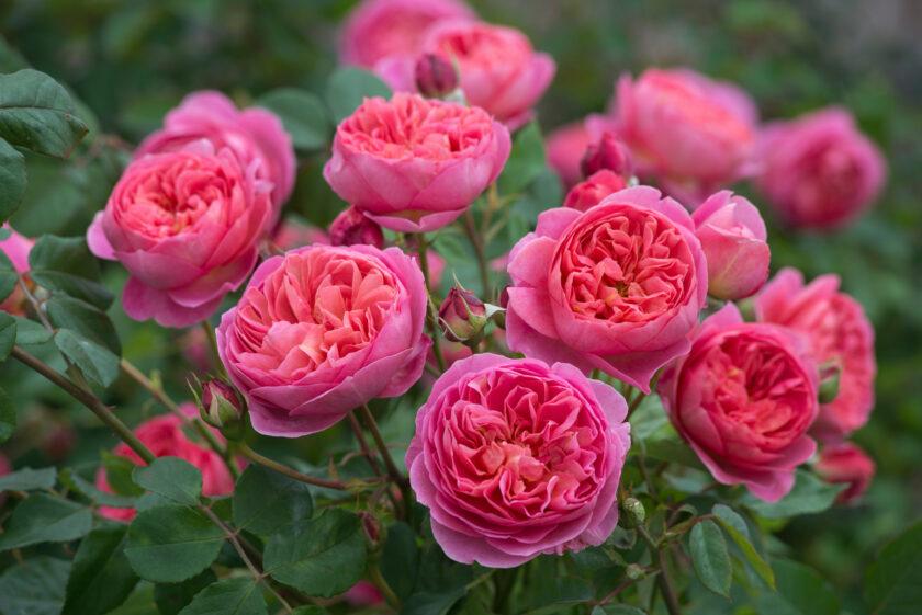 Hình ảnh hoa hồng lai