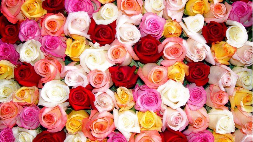 Hình ảnh hoa hồng nhiều màu