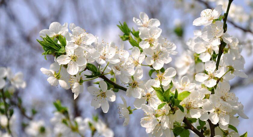Hình ảnh hoa mai trắng
