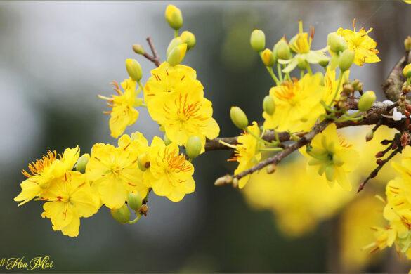 hình ảnh hoa mai tuyệt đẹp
