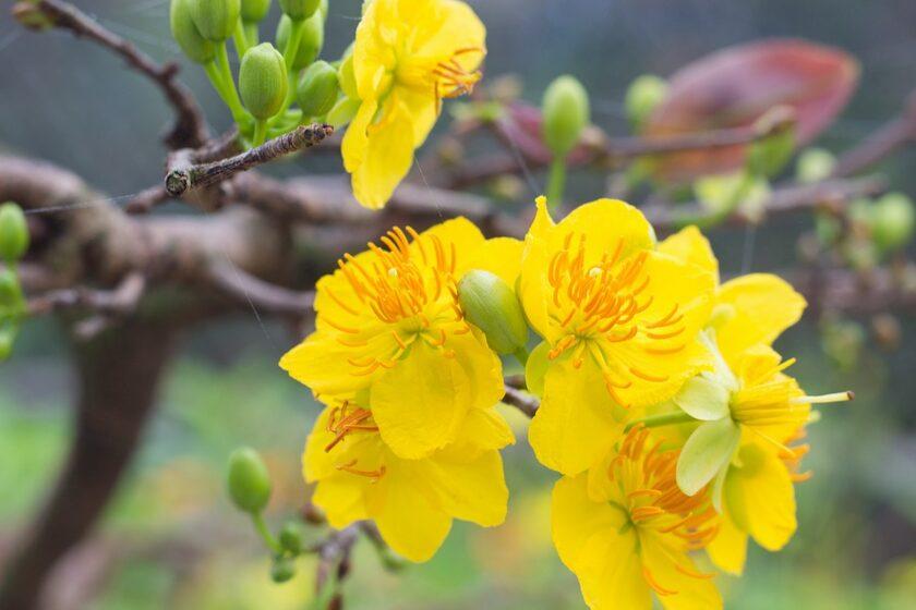 Hình ảnh hoa mai vàng