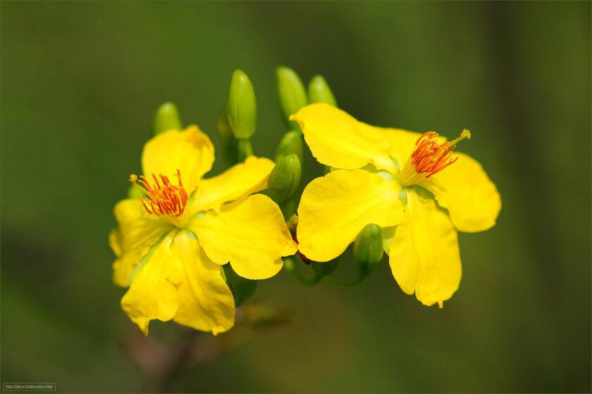 hình ảnh hoa mai vàng rực rỡ mùa xuân