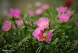 Hình ảnh hoa mười giờ đẹp nhất