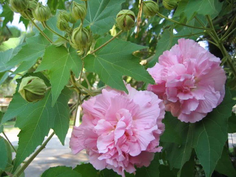 Hình ảnh hoa phù dung