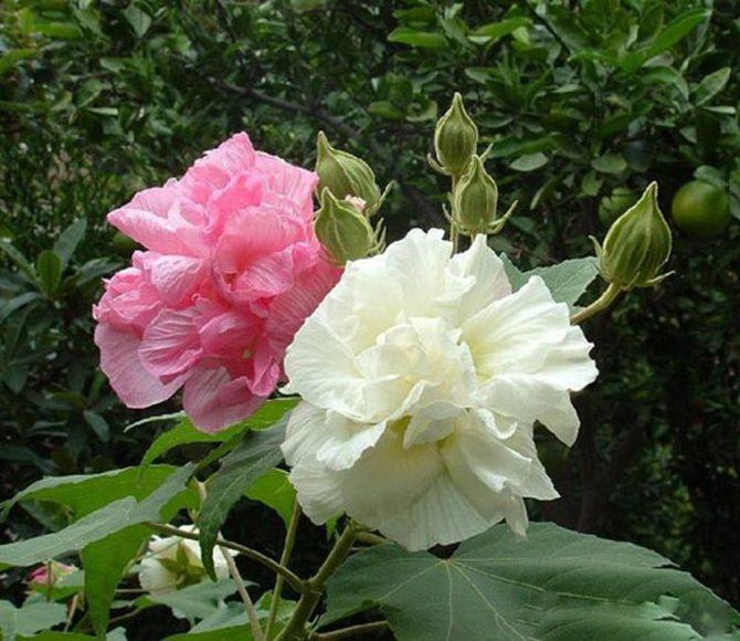 Hình ảnh hoa phù dung mỏng manh