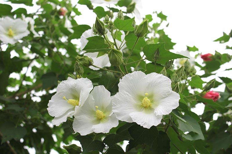 Hình ảnh hoa phù dung trắng