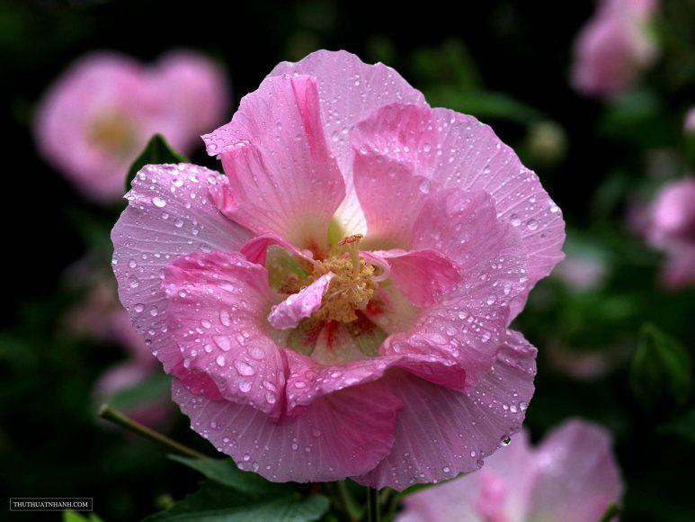 hình ảnh hoa phù dung và những giọt sương