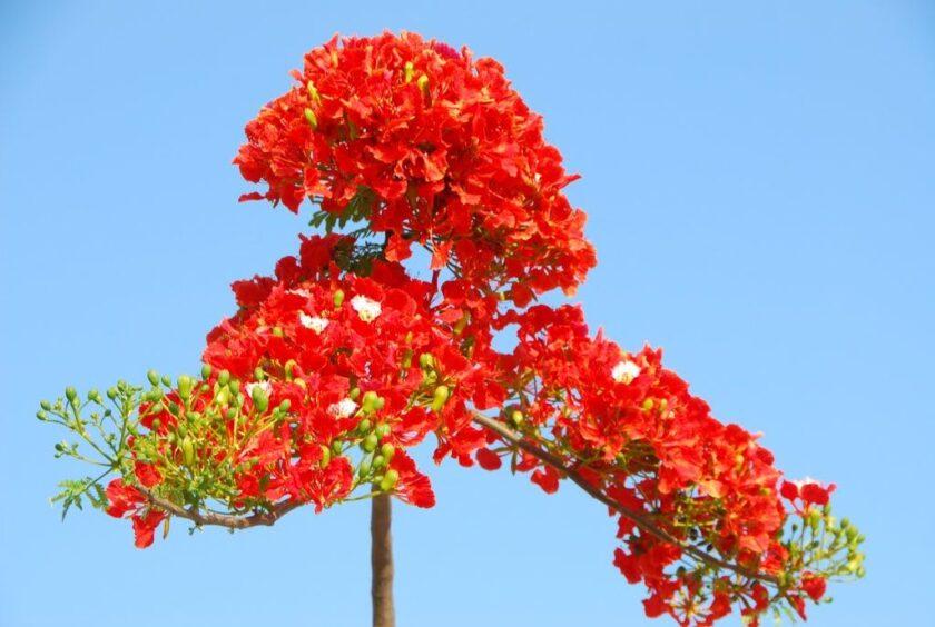Hình ảnh hoa phượng đỏ đẹp