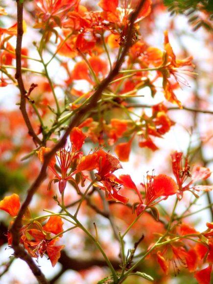 Hình ảnh hoa phượng vĩ mùa hè