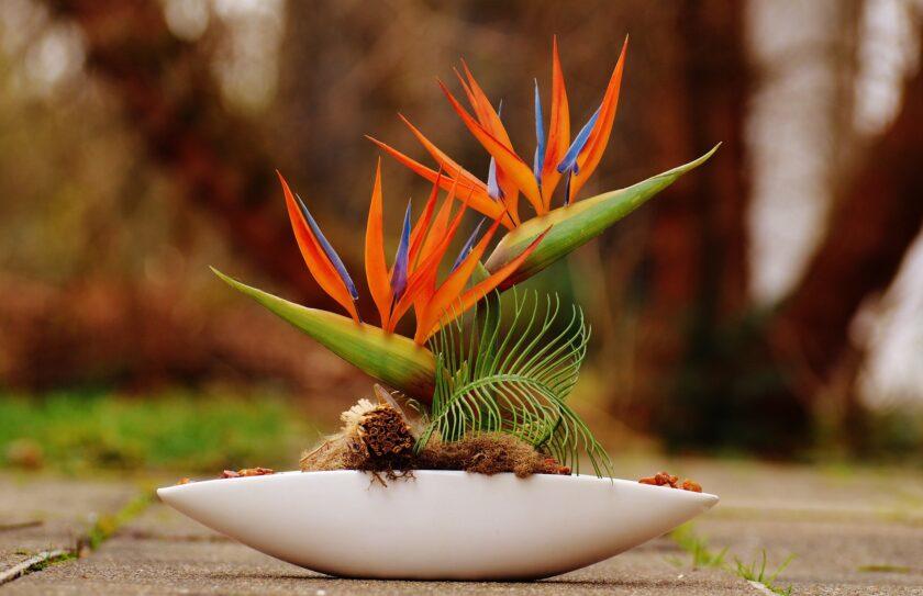 Hình ảnh hoa thiên điểu