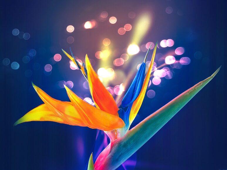 Hình ảnh hoa thiên điểu đẹp