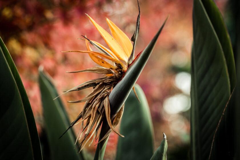 hình ảnh hoa thiên điểu sắp tàn