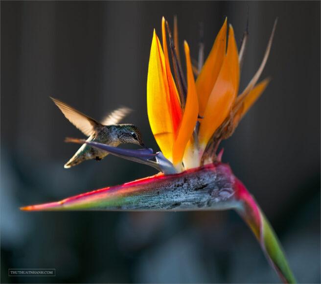 hình ảnh hoa thiên điểu và chim ruồi