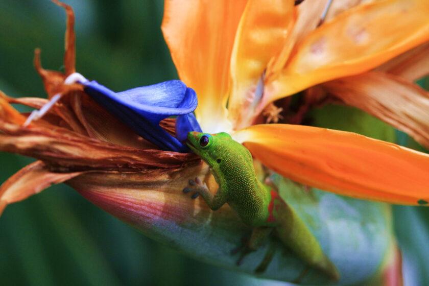 hình ảnh hoa thiên điểu và tắc kè
