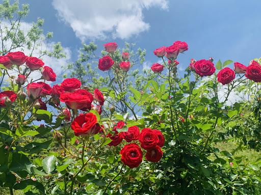 Hình ảnh một góc thung lũng hoa hồng