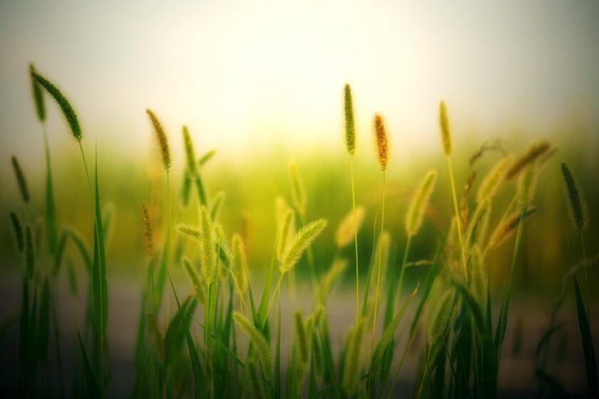 hình ảnh mùa hè với cánh đồng cỏ lau
