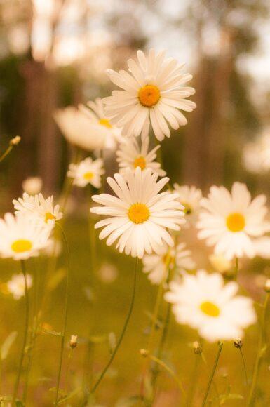 hình ảnh mùa hè với những bông cúc họa mi